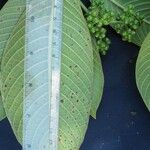 Psychotria micrantha