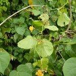 Stigmaphyllon grandifolium