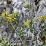 Anthyllis ramburii