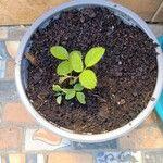 Rosa × nitidula