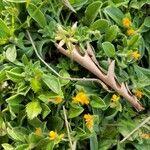 Anthyllis circinnata