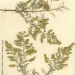 Artemisia ramosa