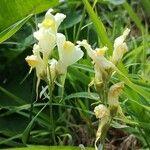 Linaria vulgaris Fiore