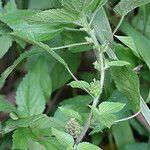 Acalypha poiretii