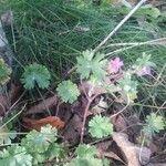 Geranium argenteum