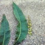 Rumex x heterophyllus