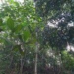 Ailanthus triphysa