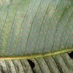 Campyloneurum phyllitidis