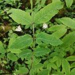 Lonicera nigra