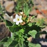 Tournefortia sibirica