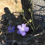 Linum narbonense Flower