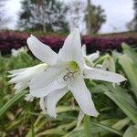 Crinum latifolium