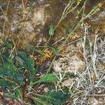 Hieracium sarretoides