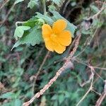 Pavonia burchellii