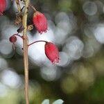 Agarista buxifolia
