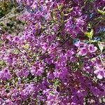 Prostanthera ovalifolia