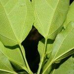 Hasseltia guatemalensis