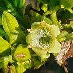 Vangueria madagascariensis