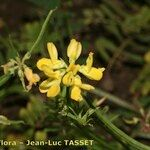 Coronilla securidaca