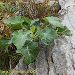 Brassica villosa