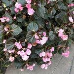Begonia semperflorens x cultorum