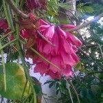 Tecomanthe dendrophila 花