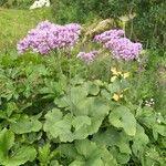 Adenostyles alpina