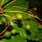 Trophis racemosa
