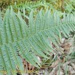 Dryopteris ardechensis