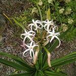 Crinum asiaticum Cvet