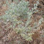 Artemisia thuscula