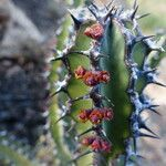 Euphorbia scarlatina