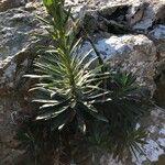 Euphorbia characias Leaf