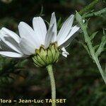 Leucanthemum corsicum