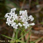 Asperula hexaphylla