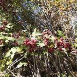 Crataegus monogyna Fruit