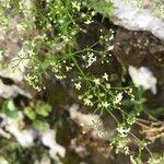 Galium laevigatum