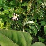 Amphicarpaea