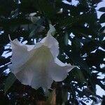 Brugmansia suaveolens