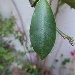 Fortunella japonica Hoja