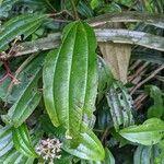 Miconia ciliata Leaf