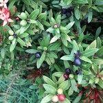 Ixora coccinea Frucht