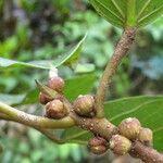 Ficus hartwegii