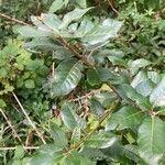 Quercus ilex Blatt