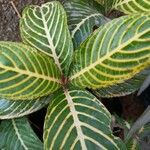 Sanchezia speciosa Leaf