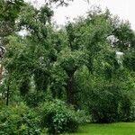 Salix pierotii