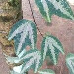 Passiflora trifasciata