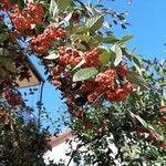 Cotoneaster acuminatus