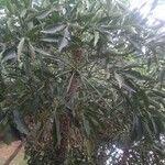 Cussonia paniculata Feuille