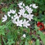 Allium neapolitanum 花